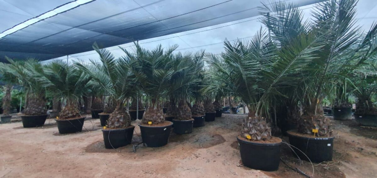 Jubaea chilensis Excellence 60-70 cm st