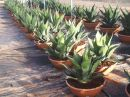 Agave ferox coupe50 cm