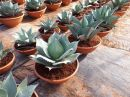 Agave Whale Tongue tarrina 40 cm