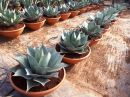 Agave Whale Tongue tarrina 60 cm