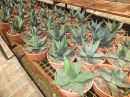 Agave parryi var. neomexicana T-25
