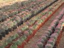 Ferocactus hibrides Mix CT-20